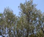 Ulivi (Ph: Provincia di Savona)