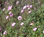 Convolvolo (Convolvulus sabatius) (Ph: Provincia di Savona)