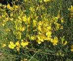 Ginestra odorosa (Spartium junceum) (Ph: Provincia di Savona)