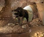 Orso delle caverne, Museo Archeologico del Finale (Ph: Museo Archeologico del Finale)