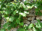 Vigneti (Ph: Provincia di Savona)