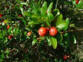 Alaterno (Rhamnus alaternus) (Ph: Provincia di Savona)