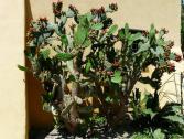 Fico d'India (Opuntia ficus indica) (Ph: Provincia di Savona)