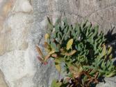 Finocchio marino (Crithmum maritimum) (Ph: Provincia di Savona)