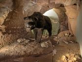 Orso delle caverne, Museo Civico Archeologico del Finale (Ph: Museo Civico Archeologico)
