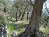 Olive (Ph: Provincia di Savona)