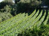 Vigne del Finalese (Ph: Provincia di Savona)