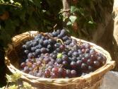 Vino del Finalese (Ph: Provincia di Savona)