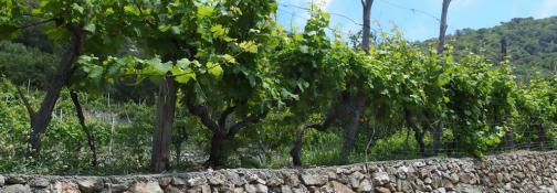 Vino (Ph: Provincia di Savona)