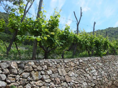 Vineyard (Ph: Provincia di Savona)