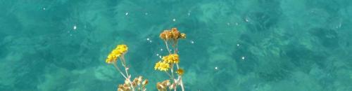 Elicriso (Helichrysum italicum) (Ph: Provincia di Savona)