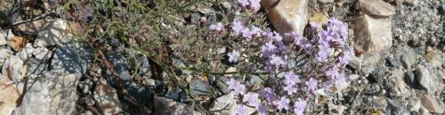 Limonio ligure (Limonium cordatum) (Ph: Provincia di Savona)